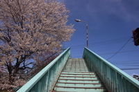 歩道橋の桜