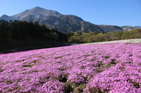 Hitsujiyama park moss phlox Stock photo [5009379] Ground