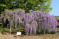 Ashikaga Flower Park Shii Stock photo [5091819] Ashikaga