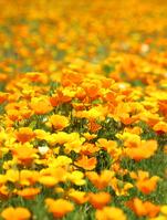 California poppy flower garden Stock photo [5092256] California