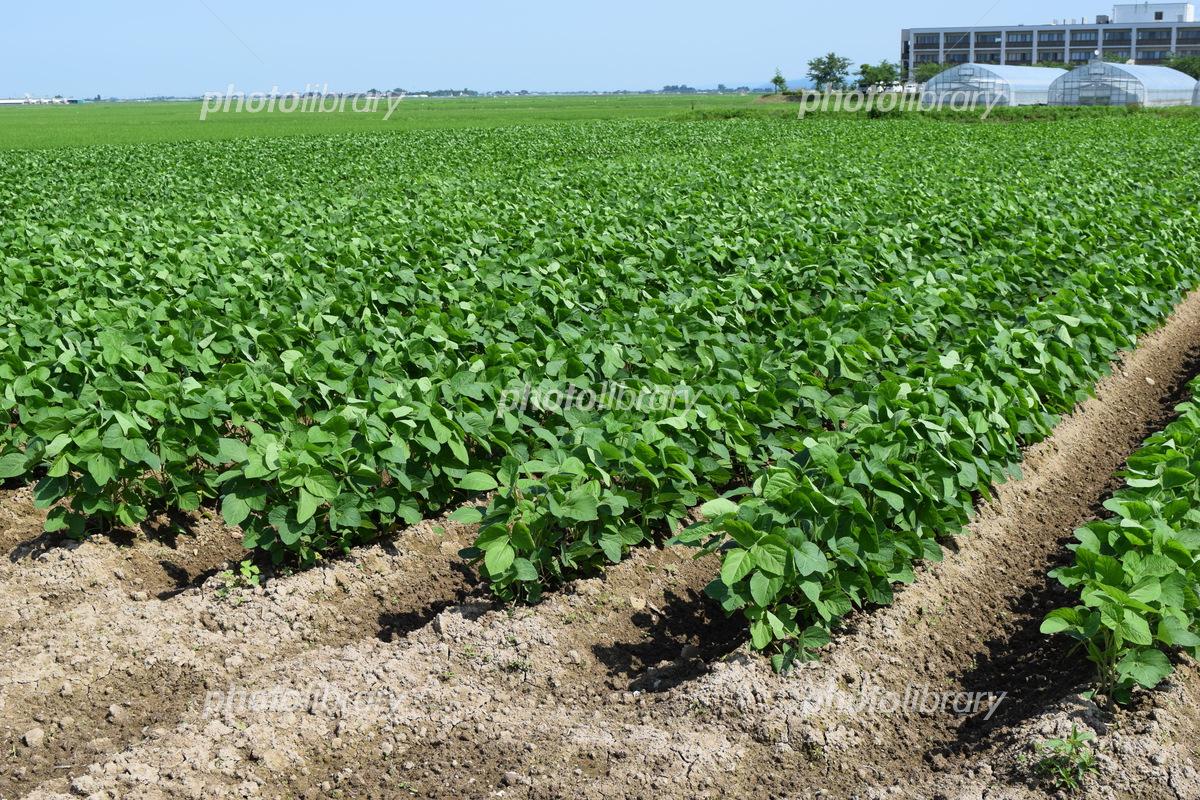 Soybean field Photo