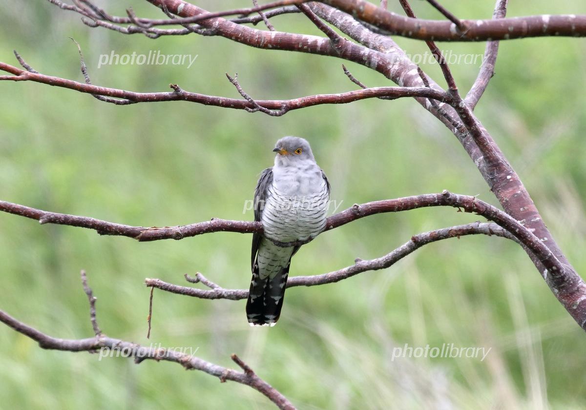 Cuckoo Photo