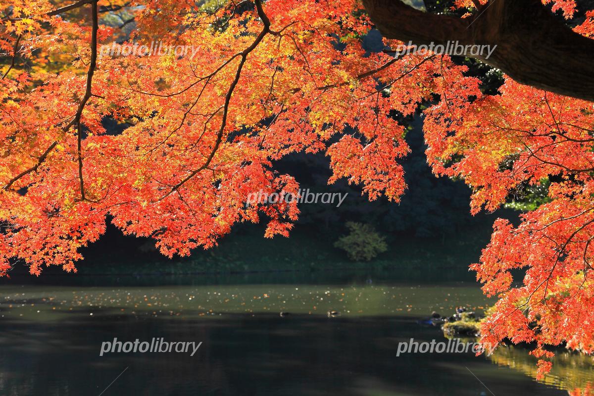 池の上に覆いかぶさる真っ赤な紅葉 写真素材 [ 5431641 ] - フォト ...