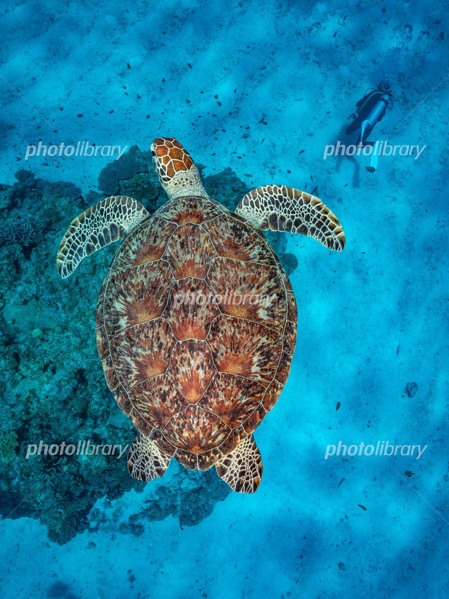 アオウミガメの画像 p1_20