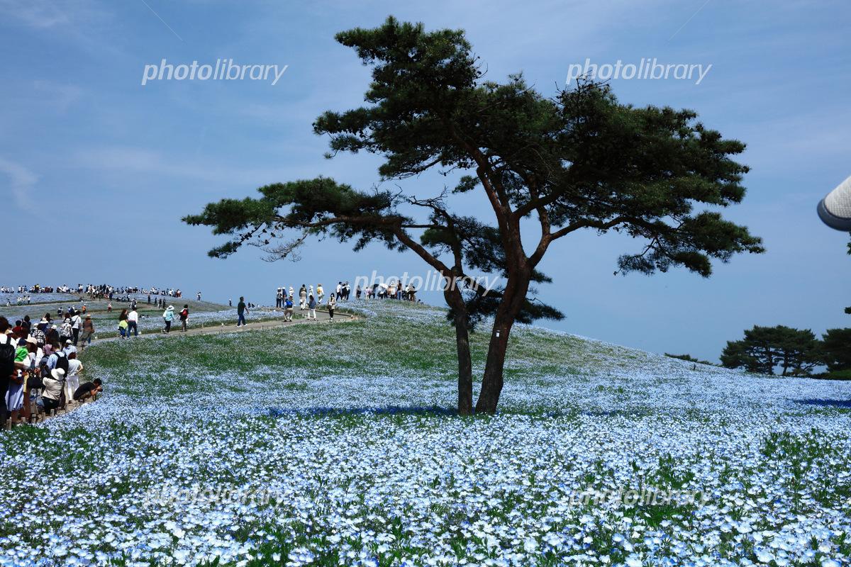 ネモフィラの丘 写真素材 5673139 フォトライブラリー Photolibrary