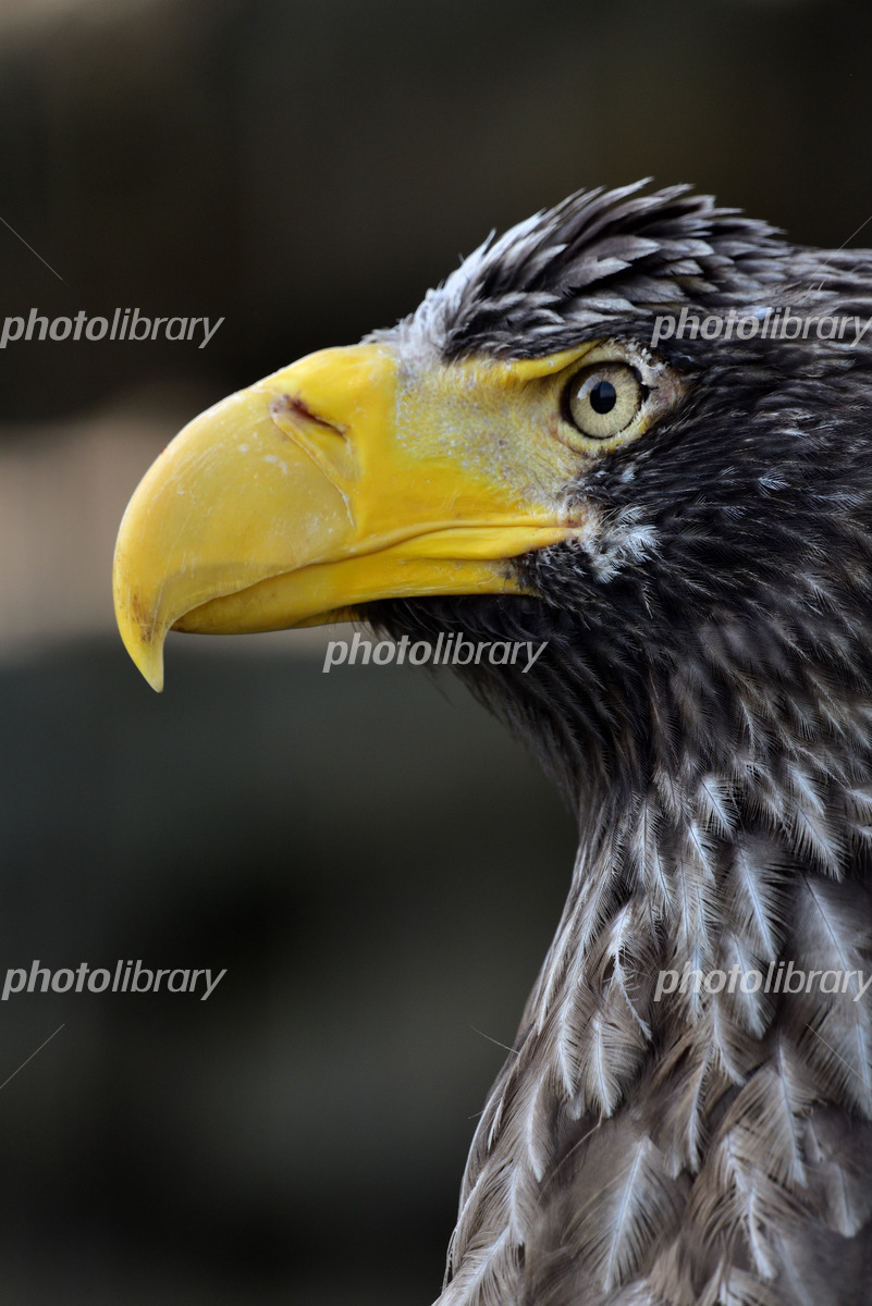 鷲 写真素材 [ 5706394 ] - フォトライブラリー photolibrary