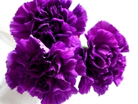 Purple carnation Stock photo [192768] Carnation