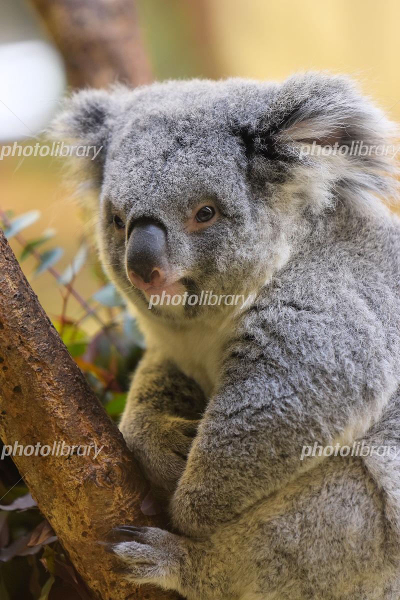 コアラ 絶滅 危惧 種