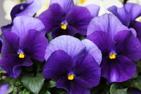 Pansy Stock photo [216422] Pansy