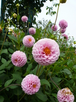 Pink dahlia Stock photo [251581] Flower