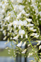 The wisteria flowers Stock photo [252229] Rattan
