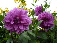 Dahlia purple Stock photo [253150] Flower
