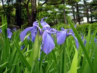 Iris of Yatsuhashi Stock photo [255452] Rabbitear