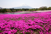 Ground pink and Fuji Stock photo [255925] Moss
