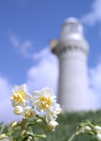 Narcissus and tsunoshima lighthouse Stock photo [18000] Narcissus
