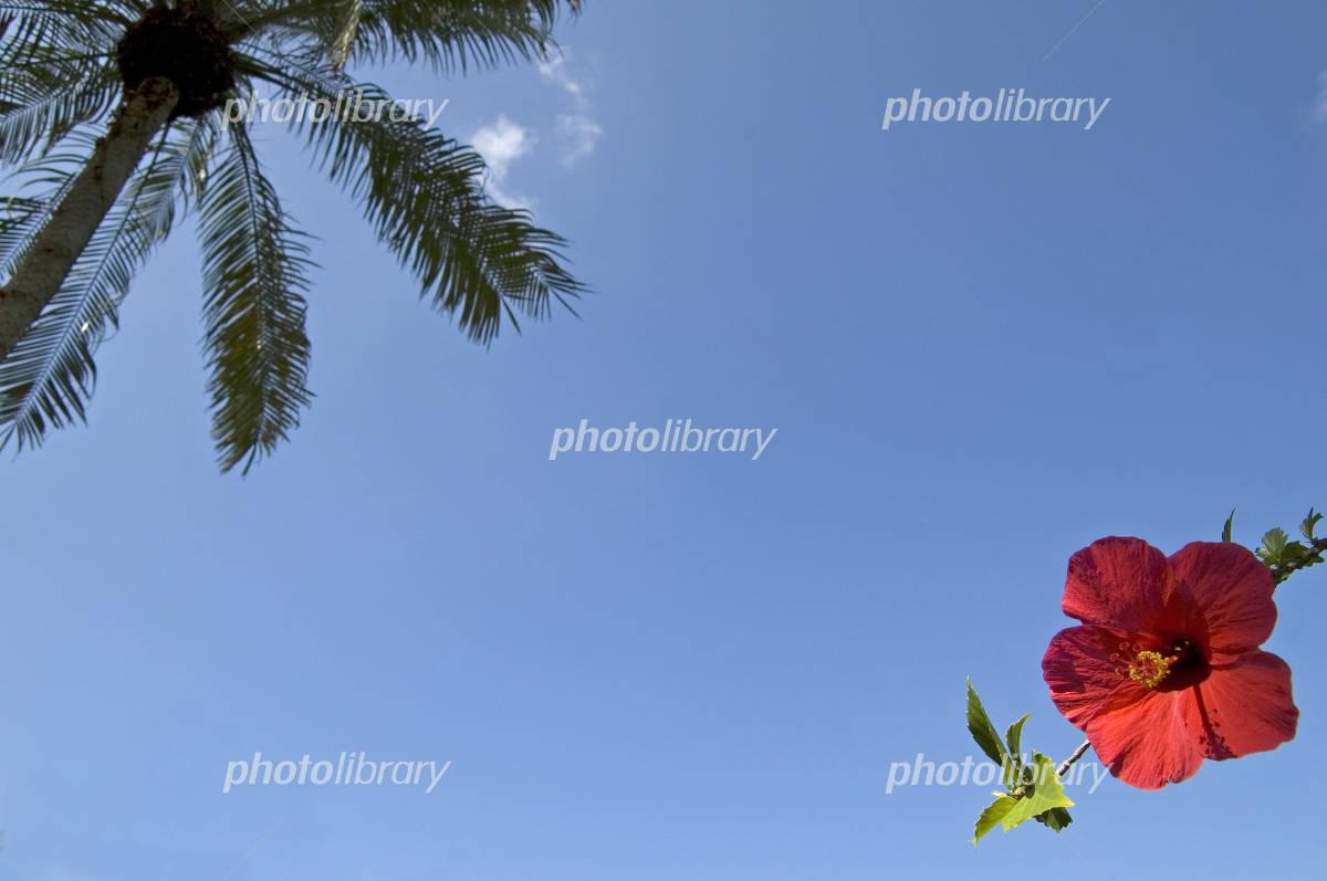 Hibiscus and sky Photo