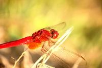 Red dragonfly Stock photo [620863] Red