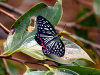 Hestina assimilis Stock photo [621503] Butterfly
