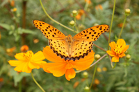 Cosmos and butterflies Stock photo [622173] CHOW