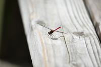 Red dragonfly Stock photo [625133] Akane