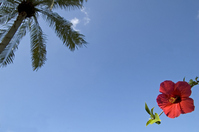 Hibiscus and sky Stock photo [626893] Hibiscus