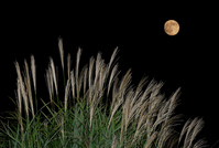Japanese pampas grass and full moon Stock photo [628768] Japanese