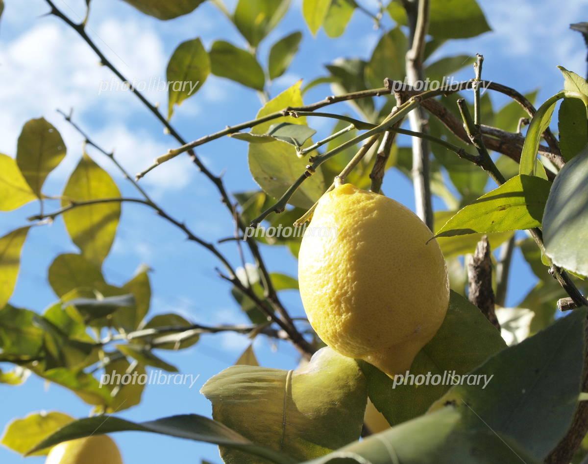 木 レモン の