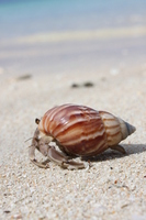 Guam Tumon Bay hermit crab Stock photo [705709] Hermit