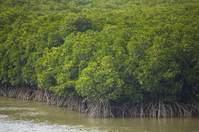 Mangrove Stock photo [707285] Mangrove