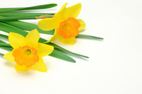 Narcissus Stock photo [707907] Narcissus