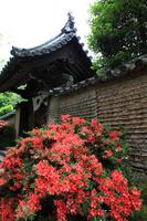 Nara Toshodaiji azalea Stock photo [708064] Azalea