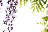 The wisteria flowers Stock photo [709114] Rattan