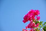 Okinawa bougainvillea Stock photo [709440] Flower