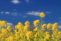 Rape field Stock photo [712084] Rape