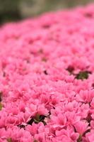 Azalea Stock photo [716018] Azalea