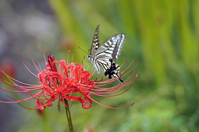 Amaryllis and swallowtail butterfly Stock photo [716247] Swallowtail