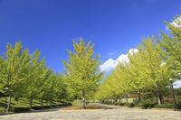 Ginkgo trees Stock photo [717314] Ginkgo