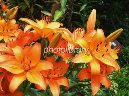 Lilium maculatum Photo