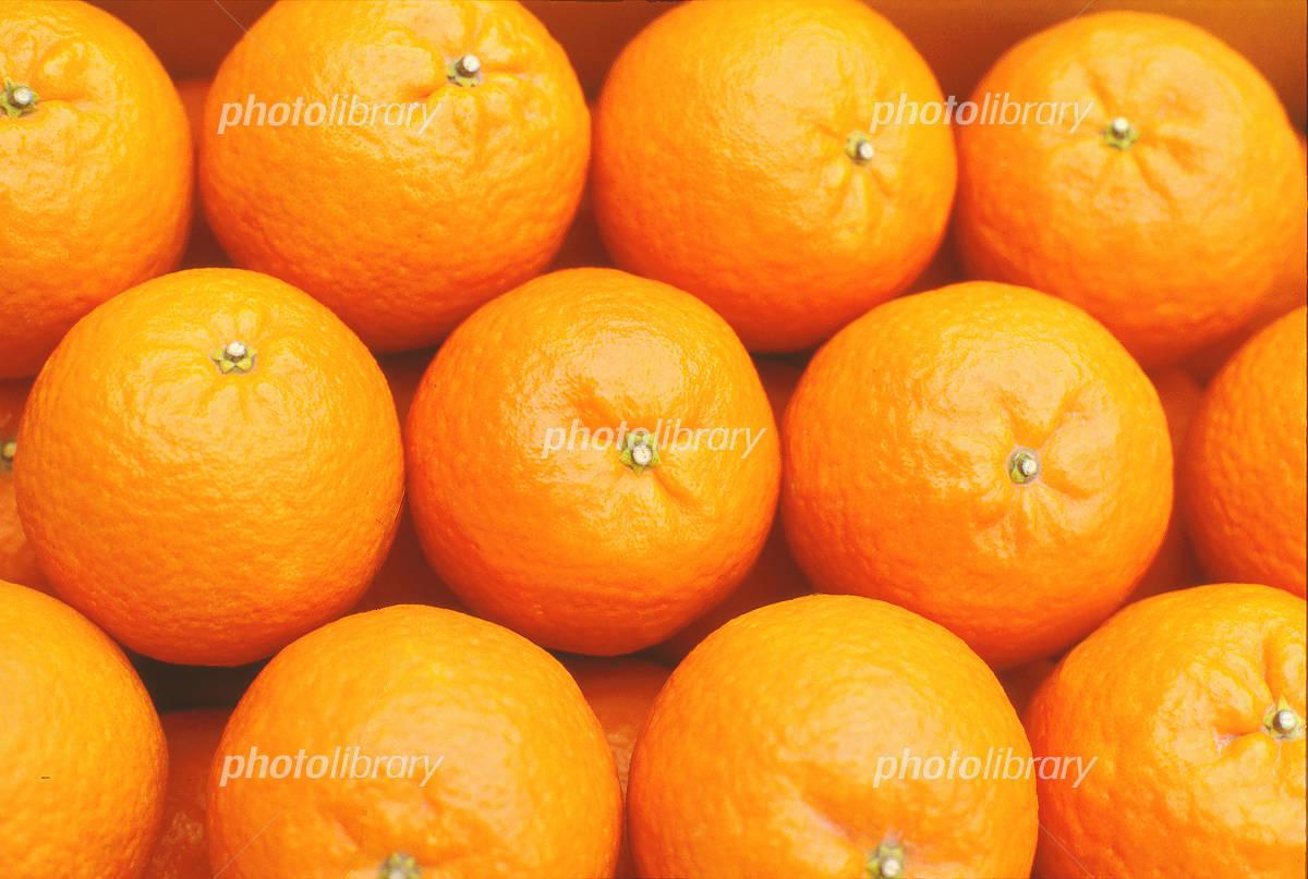 オレンジ ネーブル 白柳ネーブル/シロヤナギ・ネーブル<オレンジ:旬の果物百科