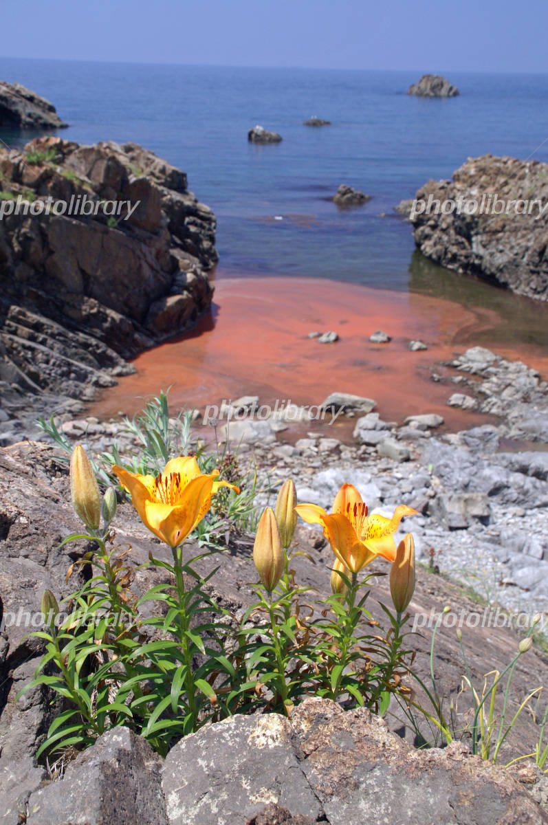 Lilium maculatum blooming in red tide of coast Photo