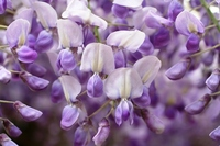 The wisteria flowers Stock photo [784918] Rattan