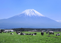 Cattle and Mount Fuji Stock photo [786472] Mt.