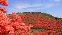 Azalea of katsuragi mountain Stock photo [786594] Azalea