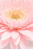 Gerbera Stock photo [787625] Pink