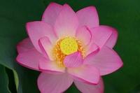 Lotus Stock photo [788011] Lotus