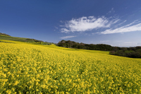 Rape field Stock photo [788031] Awaji