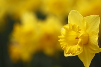 Daffodil yellow profile Stock photo [788293] Narcissus