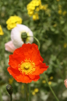 Poppy Stock photo [789498] Papaver