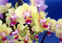 Phalaenopsis Stock photo [789505] Phalaenopsis