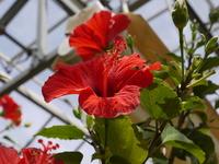 Hibiscus Stock photo [789850] Hibiscus